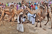 Wood and Camel Market